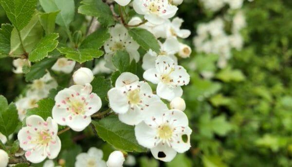 Blog Luna Herbs Wildkräuter_Pflanzensteckbrief Weißdorn