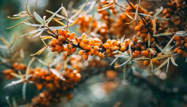 Blog Luna Herbs Wildkräuter_Pinterest_4 gesundheitliche Vorteile von Sanddorn