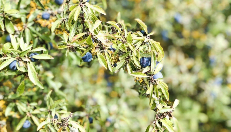 Luna Herbs Wildkräuter Blog_Pflanzensteckbrief - Gewöhnliche Schlehe