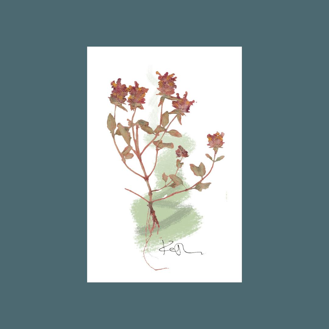 Luna Herbs_Wildkräuter Blog_Startseite_Braunelle