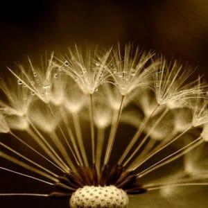 dandelion-2938939_1280