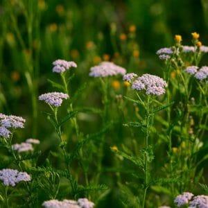 yarrow, garden, pointed flower