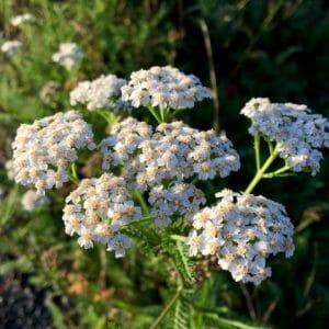 yarrow, medicinal herbs, flora